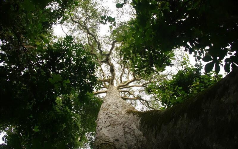 дерево-абаш